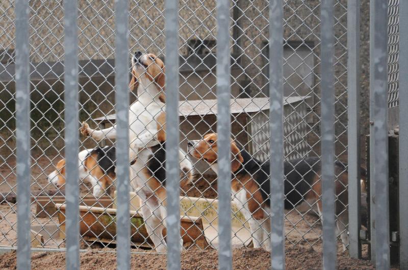 AZ beagles 2