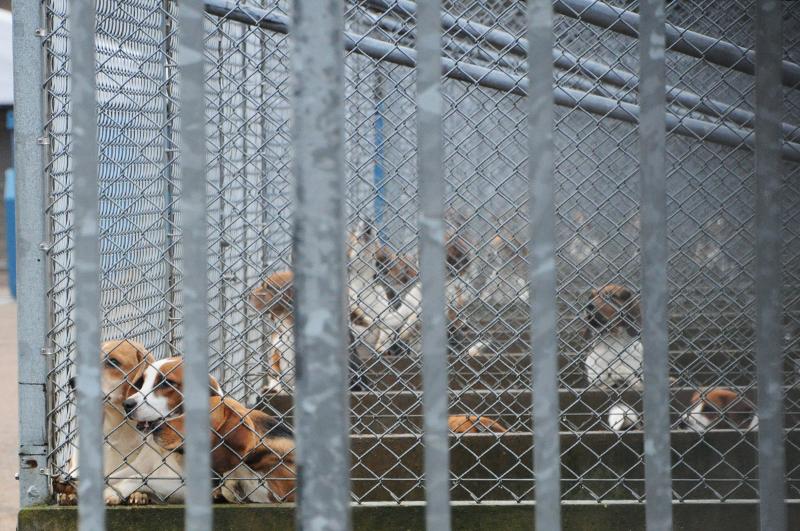 AZ beagles