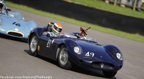 Sigmund in a race car!  Woof woof - he's so cool!