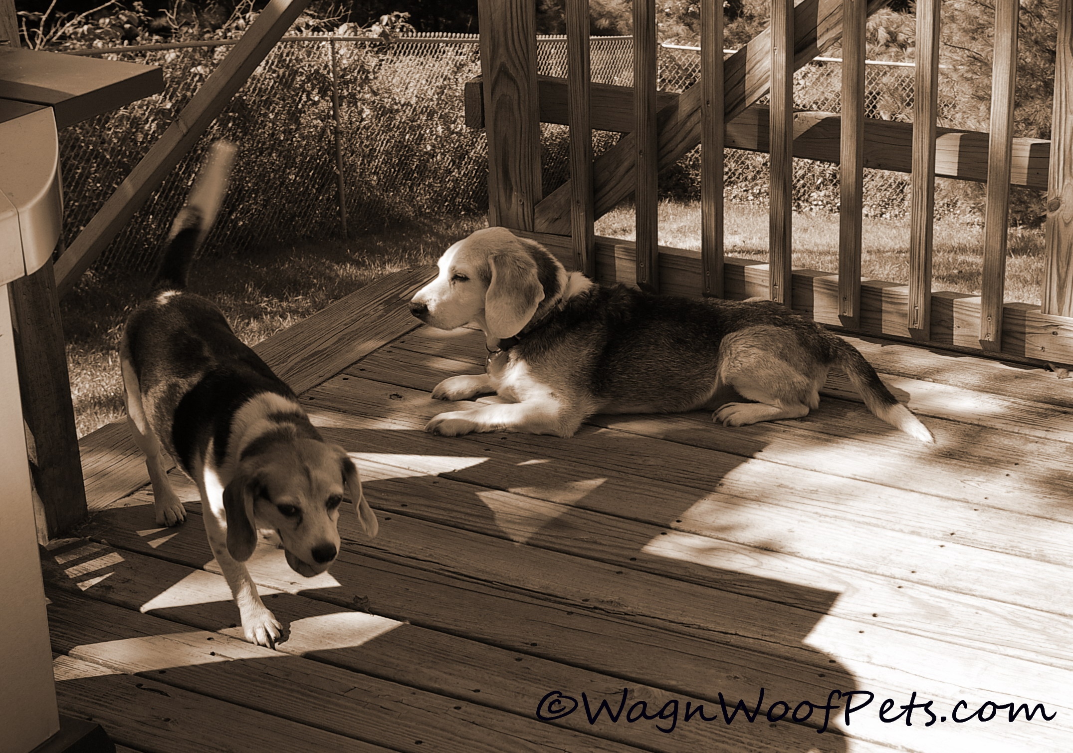Beagles play
