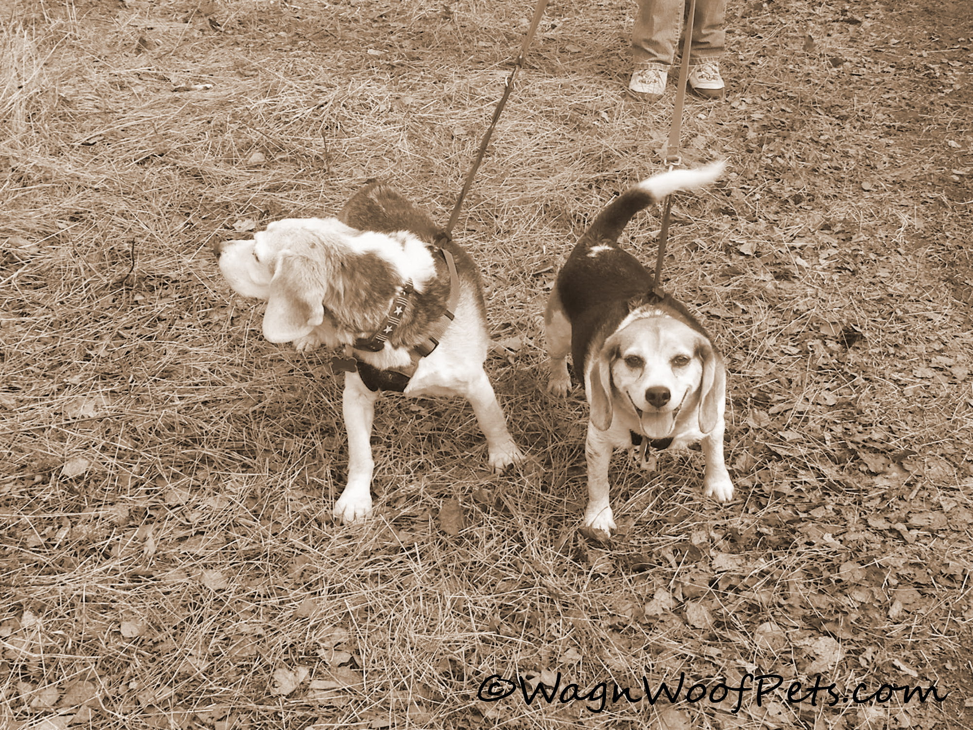 Beagles walk