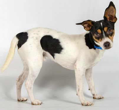 Luke's body shape match this rat terrier, but this dog only weighs about 12 pounds!  Photo courtesy of National Mill Dog Rescue where this cutie is up for adoption!