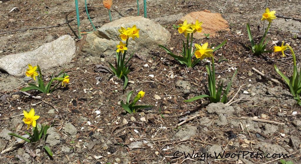 Petite daffodils.