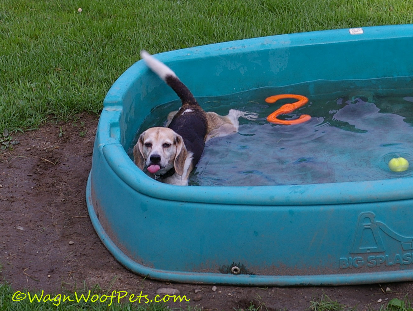 Cricket chooses the pool to cool off and get a drink!