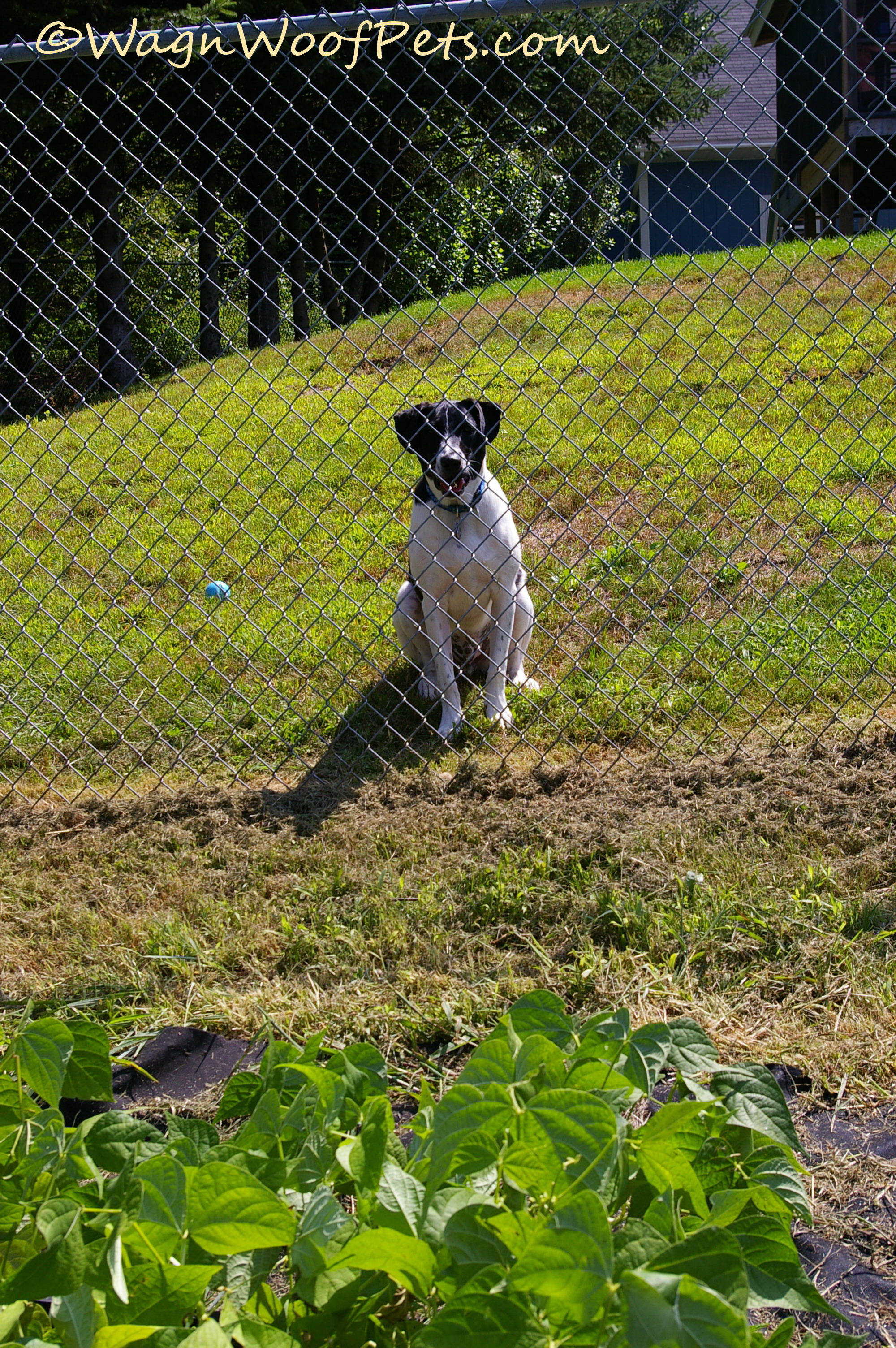 Beans - waiting at fence