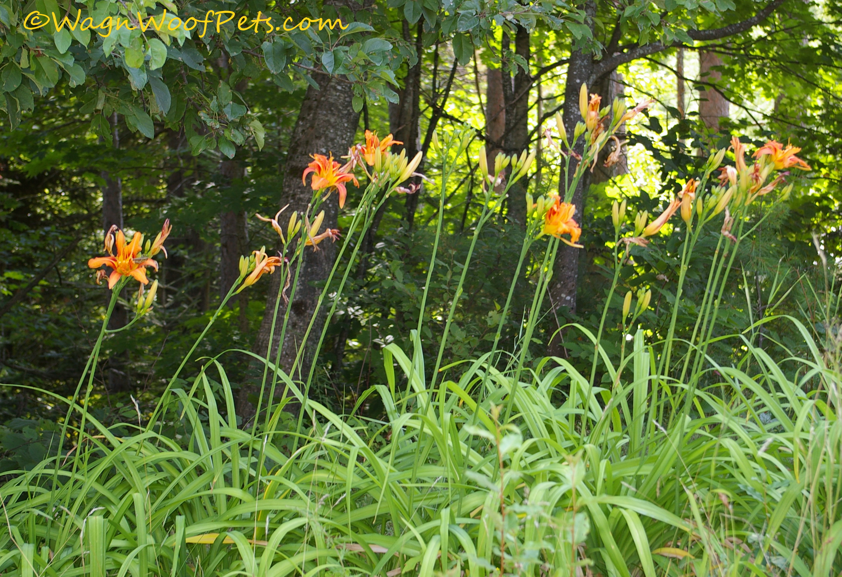 For some reason, they don't like the Daylilies - I don't know why.