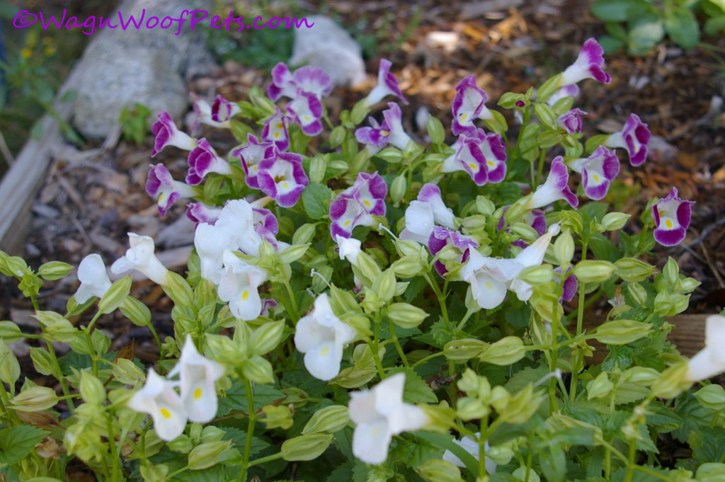 Torenia in purple, white....