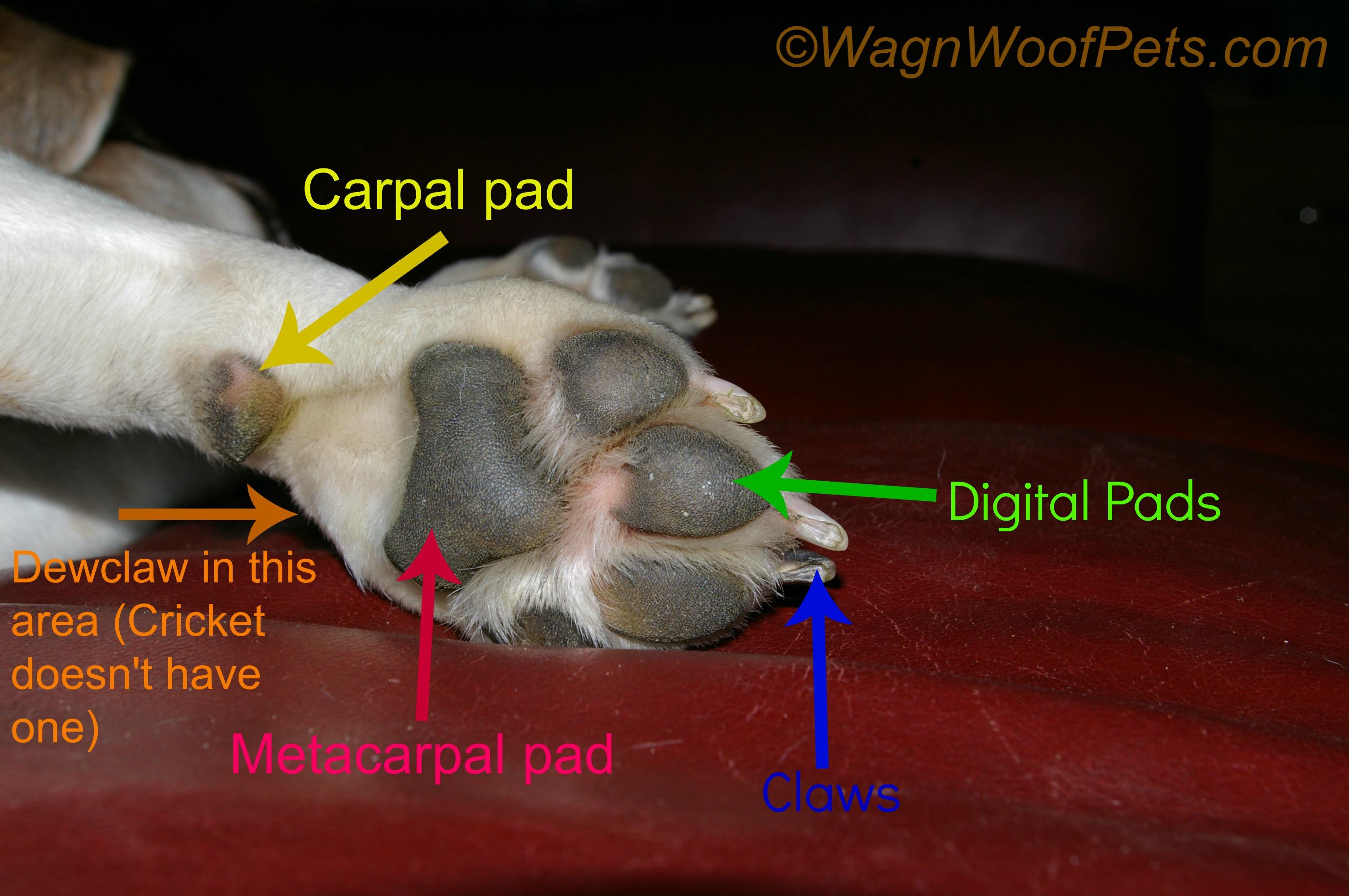 Paw anatomy