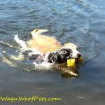 Shifting Gears: From Swimming to #DogWalkingWeek