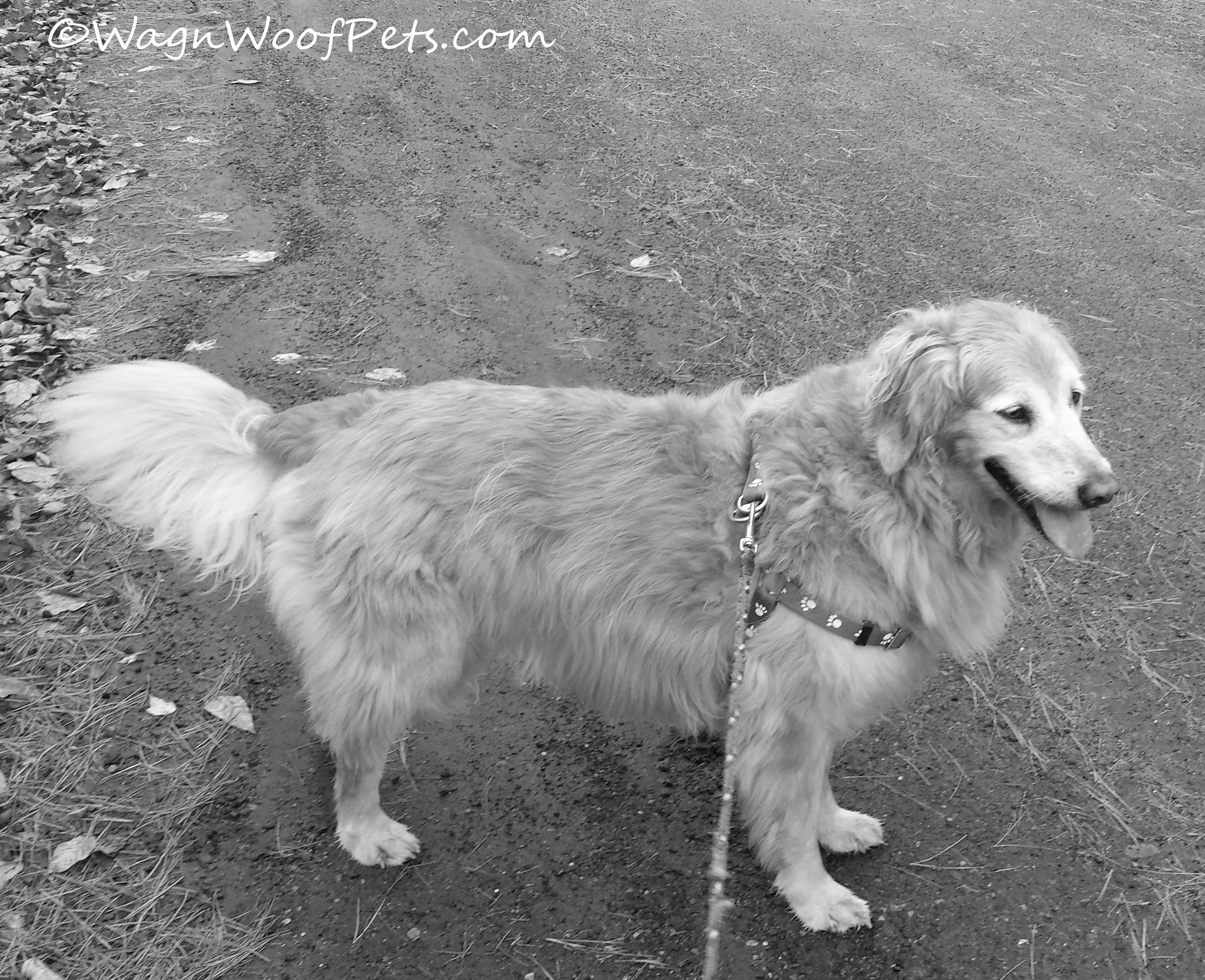 Sheba on walk
