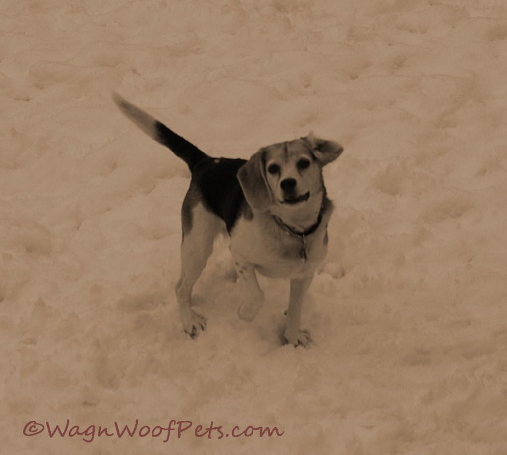 Snow Beagle 1
