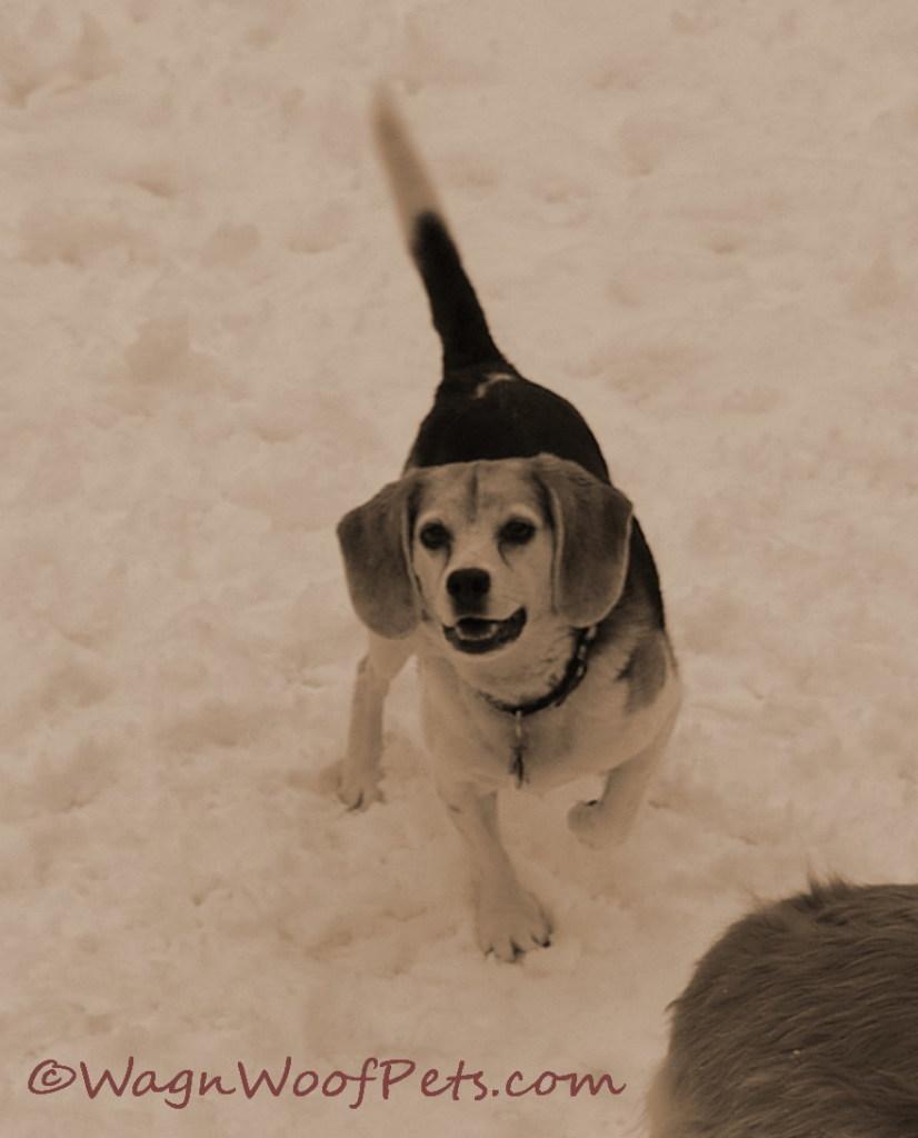 Snow beagle 2