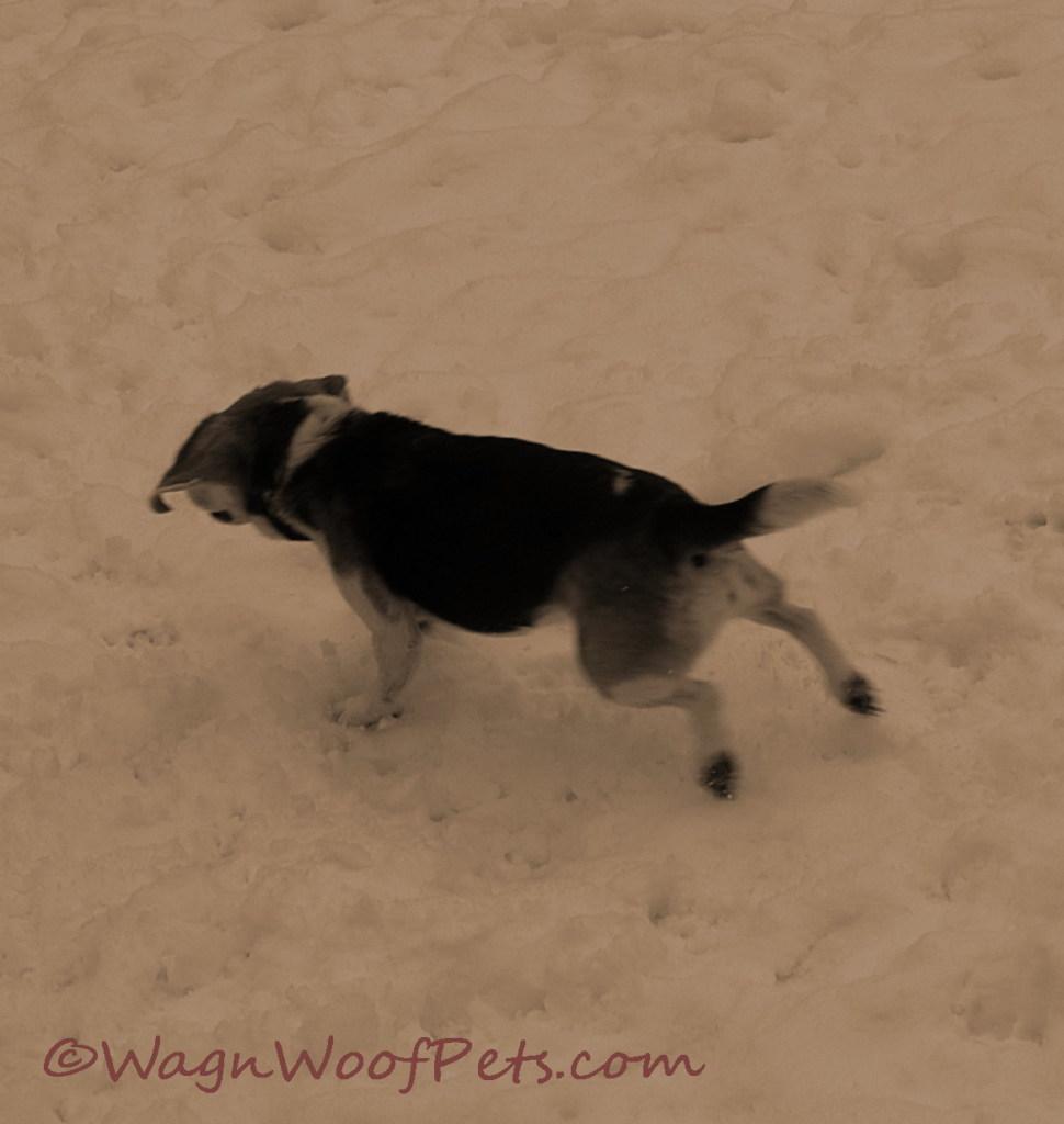 Snow beagle 3
