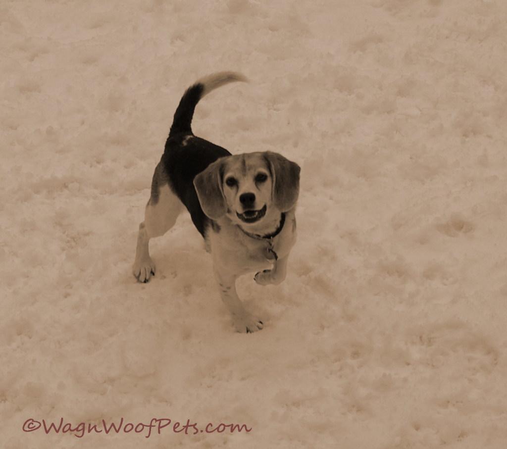 Snow beagle 4
