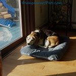 Beagle in the Sun