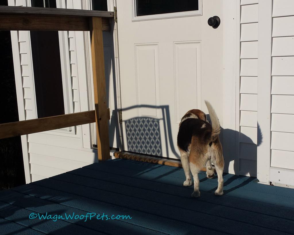 Beagle in the Sun - Overdone