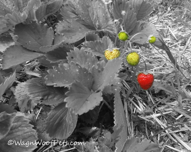 Strawberries - B&W Sunday - Good Company