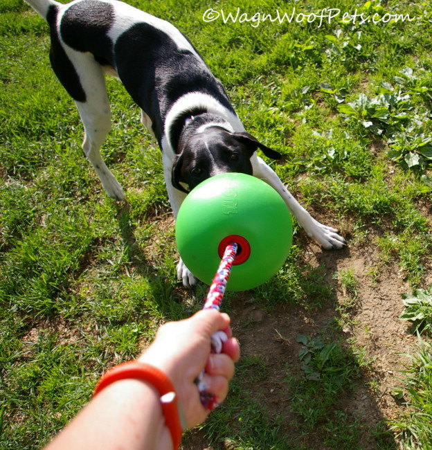 Tug-of-War with Tuggo Dog Toy!