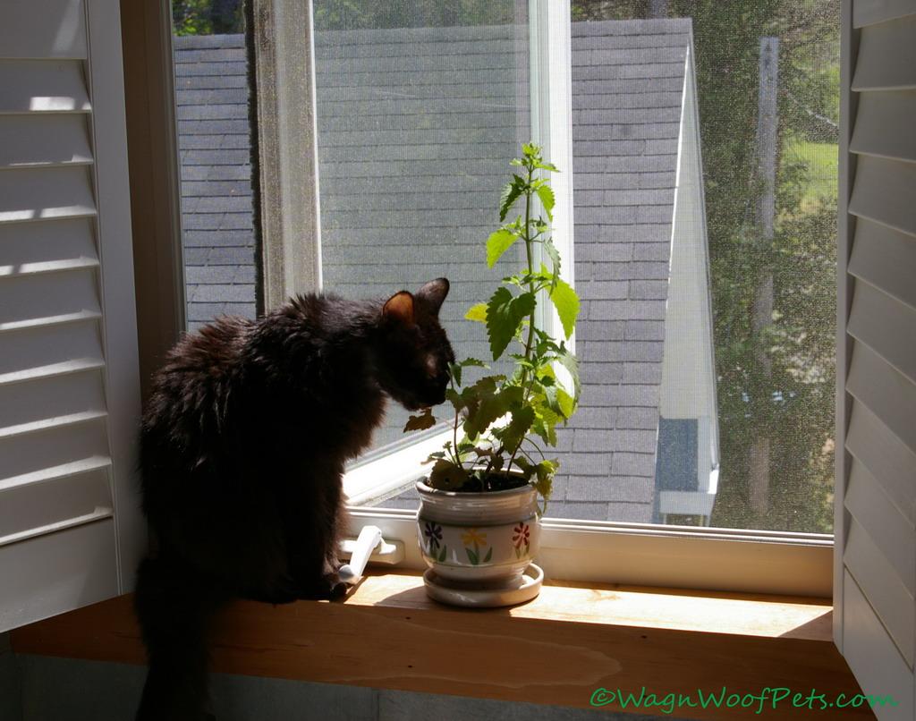 Catnip Queen