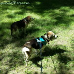 Beagle Play Date/Hike