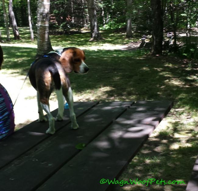 Beagle Play Date