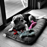 Black & White Sunday – Beagle Surrounded