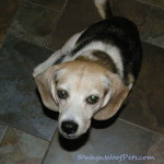 A Beagle's Birthday