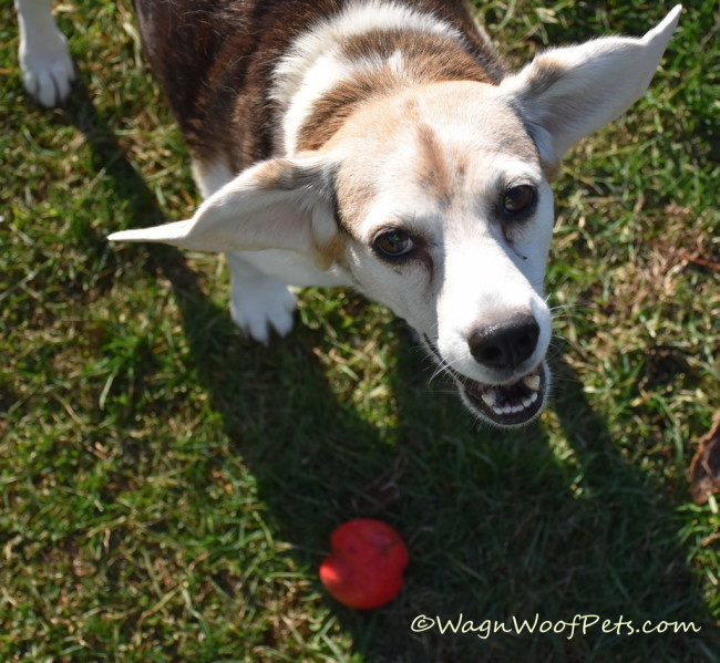Dog Ear Fun Facts - The Ears Have It