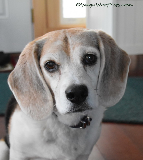 Sunday Selfies: The Three Faces of Beagle