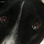 Barking About…..Canine Eyes