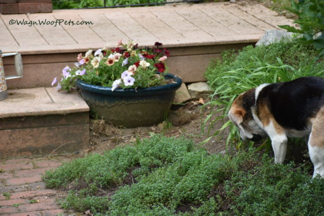 Challenges of Gardening with Dogs. Part 1.