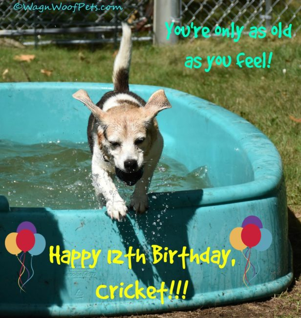 Happy Birthday to Our Sweet Beagle Cricket
