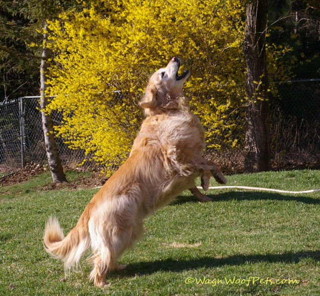 Forsythias are non-toxic to dogs.