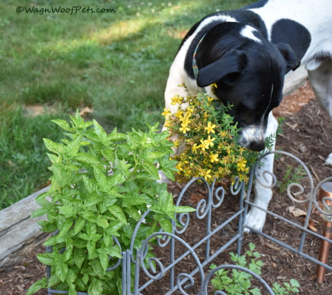 The Challenges of Gardening with Dogs - Herbs
