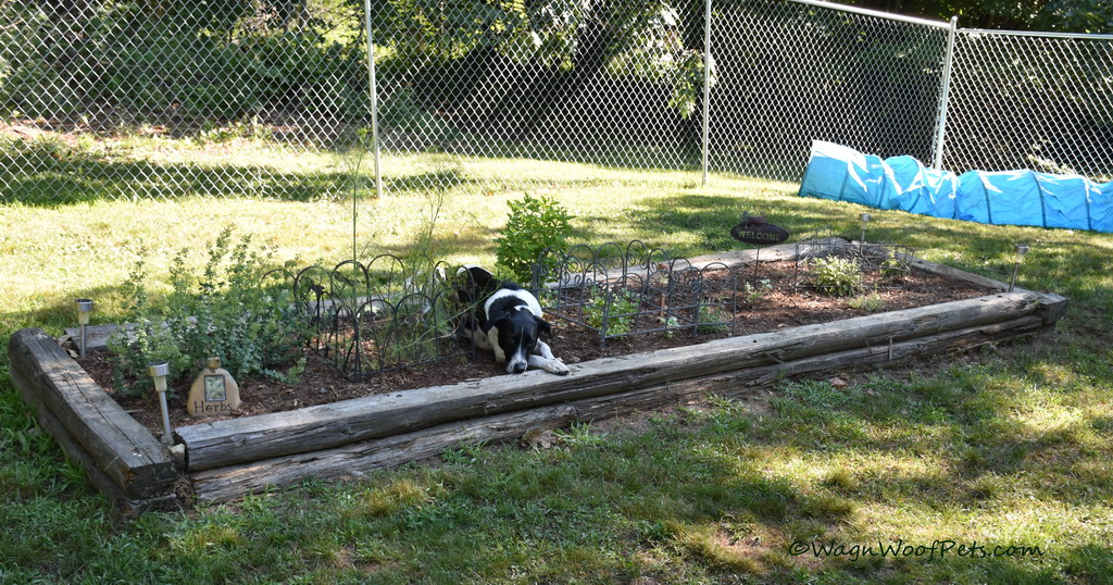 The Challenges of Gardening with Dogs - Are Your Plants Safe? Part 4 - Herbs