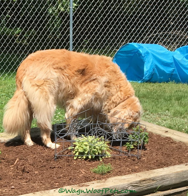 Gardening with Dogs - Are Your Plants Safe? Part 4 - Herbs