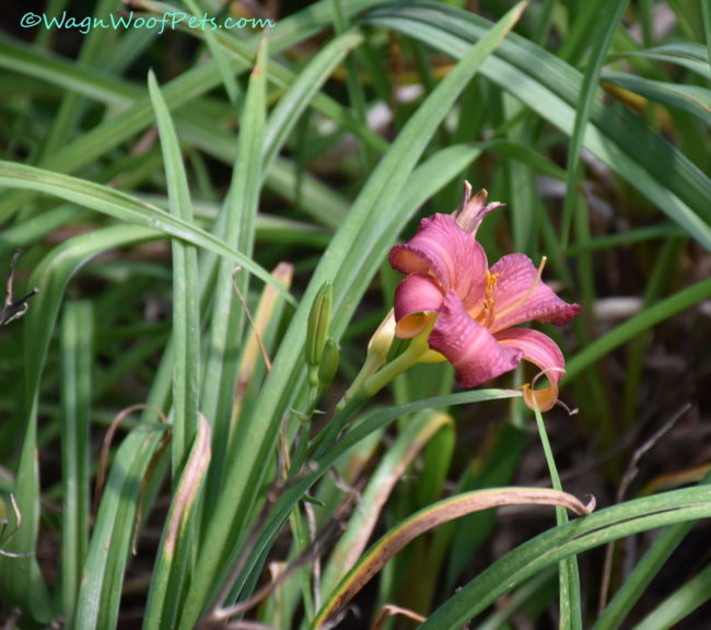Daylilies - Non-Toxic to Dogs