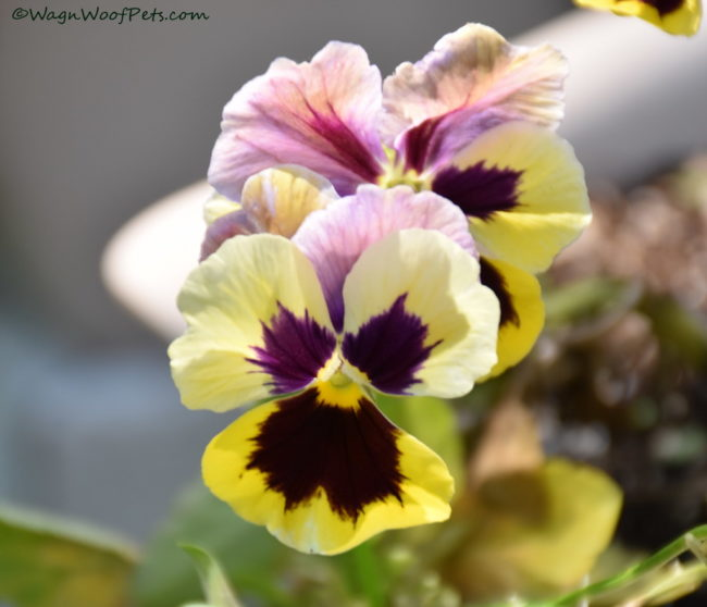 Are pansies safe for dogs?