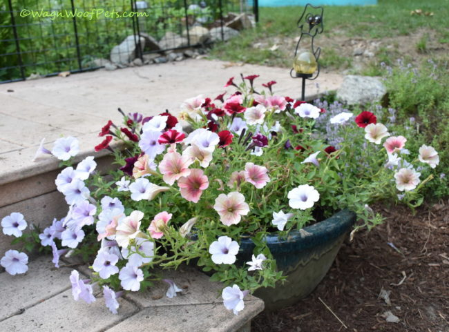 Petunias are safe for dogs.