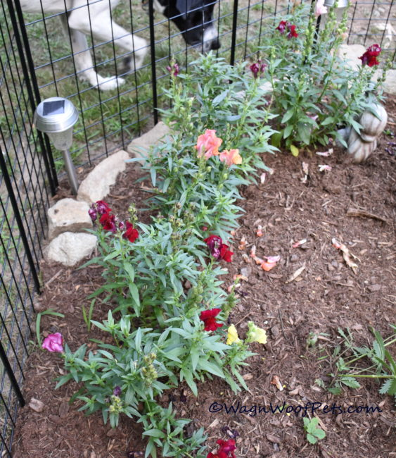 Snapdragons are safe for dogs.