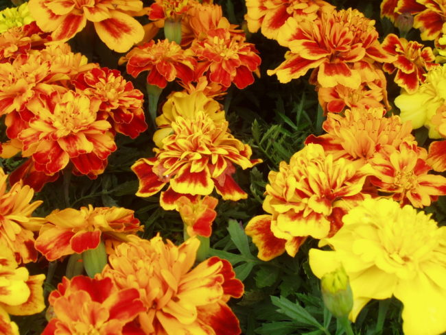 Marigolds are safe for dogs.
