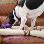 Monday FunDay – Hippo Lives!