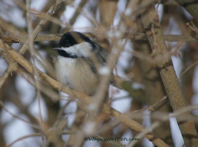 Bird Dog Wannabes - Chickadee