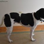 Living with a Dog's Luxating Patella