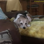 Oh, the Beagle Cuteness!