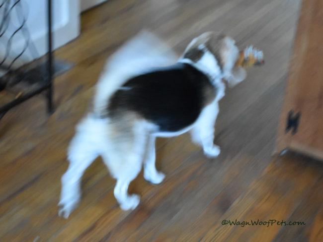 Beagle Blur
