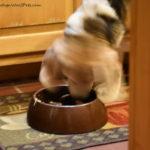 Beagle Blur #PetBloggerBloopers
