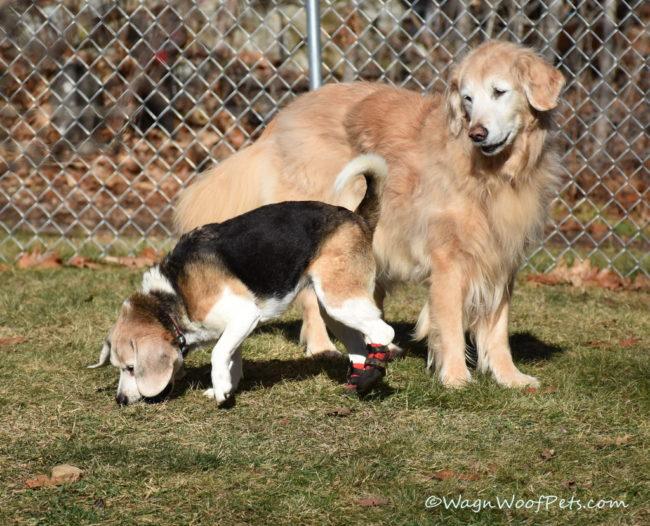 High Steppin' Beagle