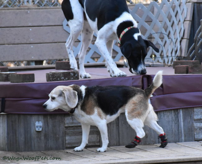 Beagle Doing the High Step