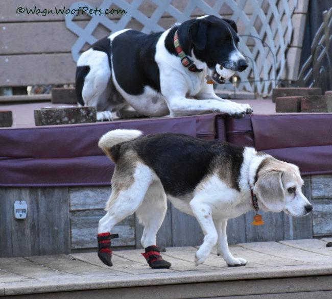 Beagle Doing the High Step!
